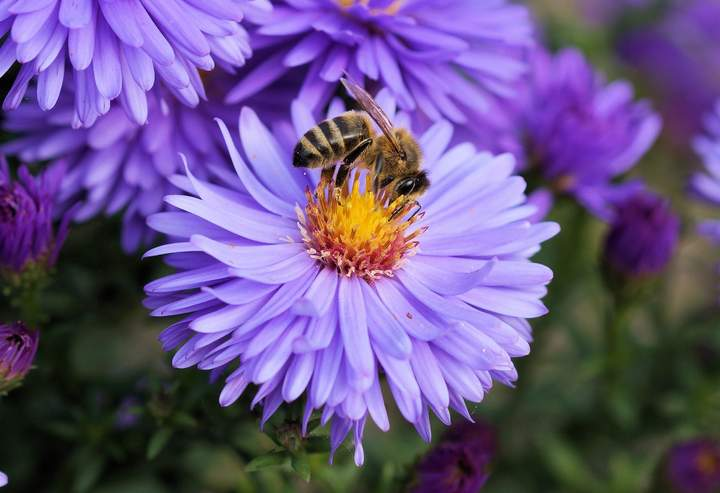 Closeup of bee pollinating a flower